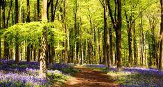 Bluebells-at-West-Woods.jpg (657×352)