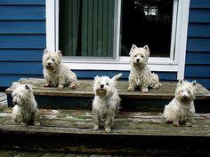 The Rupert Westies - Now Five Strong   Teresa   Flickr