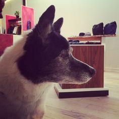 GoGo Instagram photo by @Amber Swords-Smith (SWORDS-SMITH) | GoGo #profile #swordssmithdogs #dogsloveshopping