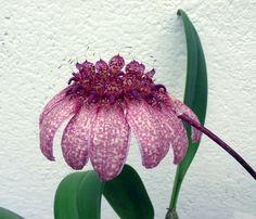 Bulbophyllum | ... Meinungen: 1 bis 1 (insgesamt 1 für Bulbophyllum eberhardtii