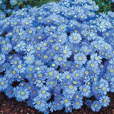 Heteropappus Blue Knoll - An annual Heteropappus with profuse lavender-blue blooms and a neat, mound-shaped habit.