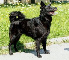 Croatian Sheepdog Photo Croatian Sheepdog Hrvatski Ovcar Croatian Sheepdog Every Dog Breed Dog Breeds