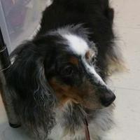 Salem, Oregon - Dachshund. Meet Hermione, a for adoption. https://www.adoptapet.com/pet/21046185-salem-oregon-dachshund-mix