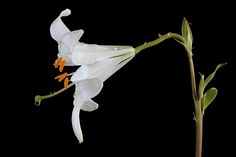 Photograph Madonna Lily by Vendenis   on 500px