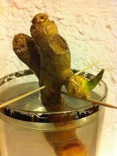 Faire pousser du gingembre  de gingembre dans un verre d'eau