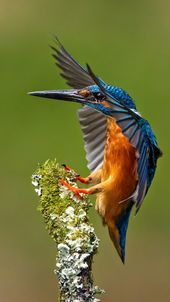 A common kingfisher (Alcedo atthis) coming in for a landing. This beautiful bird with iridescent blue feathers is distributed across Eurasia and North Africa. Pretty Birds, Beautiful Birds, Animals Beautiful, Common Kingfisher, Kingfisher Bird, Photo Animaliere, Photo Chat, Exotic Birds, Colorful Birds