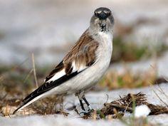 Italy - Lazio - White-winged Snowfinch (Fringuello alpino) from Gran Sasso-Laga National Park