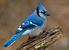 Blue Jay - Big bird - When he comes others fly away.