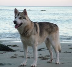 best photos and pictures ideas about northern inuit dogs - dogs that look like wolves Beautiful Dogs, Animals Beautiful, Cute Animals, Pet Dogs, Dogs And Puppies, Doggies, Tamaskan Dog, Northern Inuit Dog, Magnificent Beasts