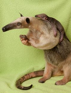 Anteater & baby