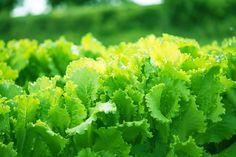 Vill du odla grönsaker men har inte en solig växtbädd? Misströsta inte! Det finns många grönsaker och kryddväxter som bara behöver fyra timmar sol om dagen eller mindre. Många föredrar halvskugga eller vandrande skugga, medan andra tolererar halvskugga. Kolla in listan och sätt igång.