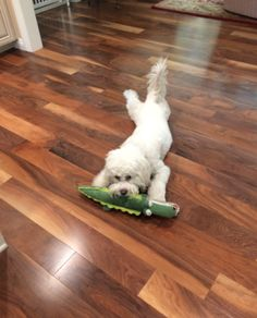 Sparky sliding on the floor; he loves to lie prone.