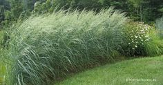 Switchgrass - Panicum amarum Dewey Blue
