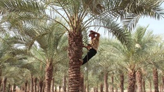 Date Harvest - by Al Anoud Hamad Al-Thani - The Moving Postcards Project #VCUQatar #Doha