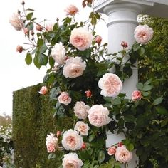 A Shropshire Lad Climbing - David Austin Roses  A versatile rose, closely related to Leander from which it inherits its vigorous, healthy and almost thornless growth. It is an excellent climber, well suited to growing on a small arch, rose pillar or a wall. Extremely tough, reliable and healthy.   (And it can take partial shade.)