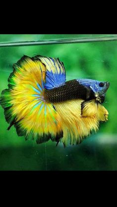 Betta/Siamese fighter fishes are my favourite                                                                                                                                                                                 Mais