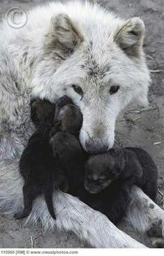 Mother wolf and pups