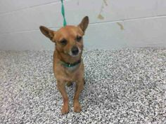 URGENT - #A461615 Available 3/1  I am a male, brown Chihuahua - Smooth Coated. Shelter staff think I am about 5 years old. I have been at the shelter since Feb 24, 2014.  For more information about this animal, call:  San Bernardino City Animal Control at (909) 384-1304  https://www.facebook.com/photo.php?fbid=10202152079541048&set=pb.1160364024.-2207520000.1393366871.&type=3&theater