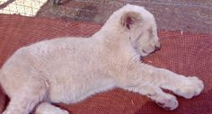 Walk with the Lions at Thaba Ya Batswana Eco Hotel And Spa Lion Cub Education Centre - so cute! Lion Cub, Cubs, Lions, Centre, To Go, Spa, Walking, Girly, The Incredibles