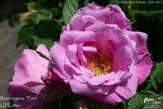'Rosa rugosa 'Foxi'' Rose Photo