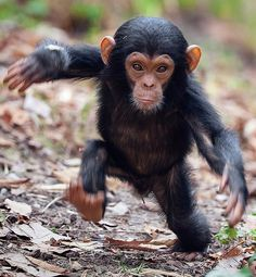 Baby chimp, at a national park in Tanzania, East Africa.//  He is really on the GO!!