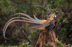 Reeve's pheasant (Syrmaticus reevesii), display