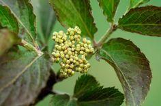 El saúco una planta medicinal desde la Edad de los Metales