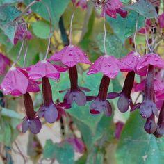 Purple Bell Vine Rhodochiton Atrosanguineum