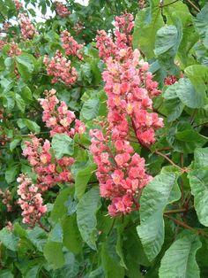 56 best horse chestnuts images on pinterest horse chestnut seed pink horse chestnut flower c rob farrow mightylinksfo