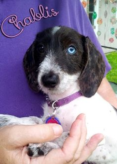Chablis is available for adoption at www.ddrtx.org