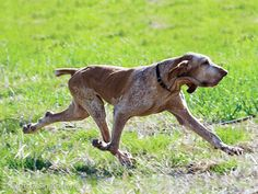 "Bracco Italiano showing the famous ""trotto spinto"""