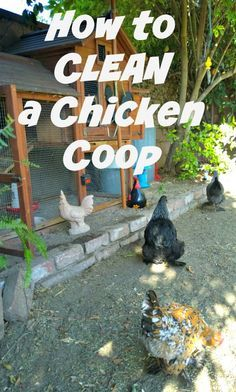 How To Clean The Chicken Coop, frugal chicken keeping, urban chickens, backyard chickens:
