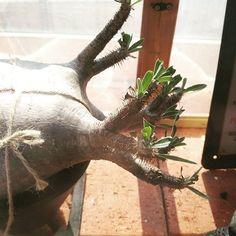【marolien2】さんのInstagramをピンしています。 《切っても切ってもまた新芽😂🌱🌱株が元気なのは嬉しいのだけれども😂😂涅槃のグラさん……あんた意地になってないかい?💦💦#plants#green#platycerium#indoorgarden#indoorplants#mossterrarium#terraria #植物のある暮らし#観葉植物#interior#インテリア#温室#テラリウム#発根管理#パキポディウム#パキポディウムグラキリス#グラキリス#gracilius #コーデックス#caudex#塊根植物》
