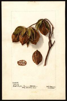 Artist:Passmore, Deborah Griscom, 1840-1911 Scientific name:Carya Common name:hickory Variety:Swamp art original : 16 x 25 cm 1903