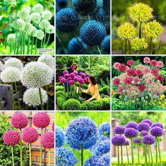 100 Purple Giant Allium Giganteum Beautiful Flower Seeds Garden Plant, budding rate 95% rare flower