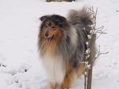 Goupy, chien Colley à poil long