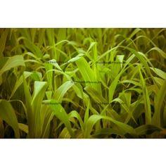 Corn Leaves. Photos imprimées sur papier Premium avec encadrement pour un rendu de qualité.