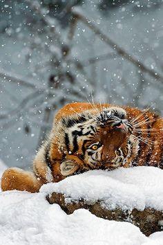 Panthera tigris altaica - Siberian tiger