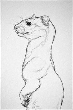 animal drawings sketches A Weasel by nikkiburr Cool Drawings, Drawing Sketches, Arte Sketchbook, Poses References, Animal Sketches, Cute Animal Drawings, Creature Design, Art Tutorials, Painting & Drawing