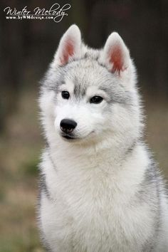 """southernsnowdogs: """"Winter Melody Trouble Maker— Officially the cutest siberian husky puppy I've ever seen. """""""
