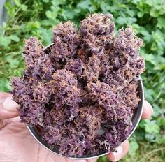 It's #420 and we're in #love with these #beautiful #purple nugs with #orange hairs Live high with #WoahStork BIO LINK