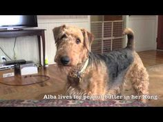 Alba the Airedale Terrier - YouTube --- Wonderful video!