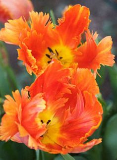 Sarah Raven, garden writer and broadcaster My favourite is a parrot tulip called 'Orange Favourite'.