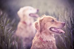 the golden pair. by Olivia Bell, via Flickr