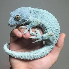 Blue tokay, posted by Reptile Hunter. Be careful, because these little geckos, common in the Philippines, have surprisingly powerful jaws!