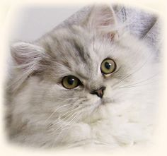 Pictures Persian Cats | Cats Information Health and Pictures: Persian Cat Behavior