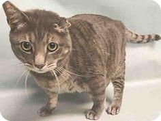 Brooklyn, NY - Domestic Shorthair. Meet BOSTON, a cat for adoption. http://www.adoptapet.com/pet/17930756-brooklyn-new-york-cat