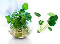 Saintpaulia, Glass Vase, Indoor, Flowers, Plants, Mini Gardens, Decor, House, Hibiscus