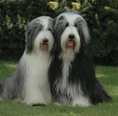 Pictures of Bearded Collie, both as adult dogs . Collie Puppies, Dogs And Puppies, Animals And Pets, Cute Animals, Tibetan Terrier, Bearded Collie, Old English Sheepdog, Dog Id, Beautiful Dogs