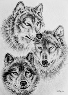 Wolf pencil wall art - drawing - wildlife collection-wolves by andrew read. Animal Paintings, Animal Drawings, Pencil Drawings, Drawings Of Wolves, Tribal Wolf Tattoo, Wolf Tattoos, Tier Wolf, Wolf Colors, Clip Art Library
